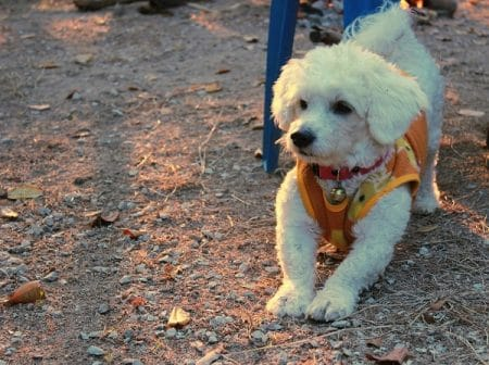 white bichon frise dog