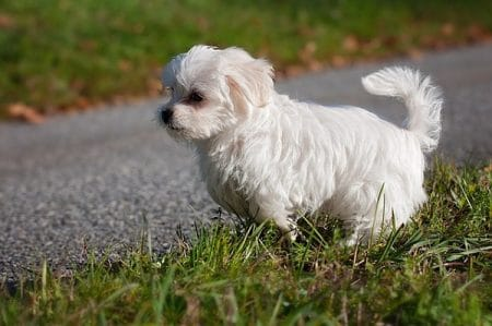 white maltese puppy playing in the grass