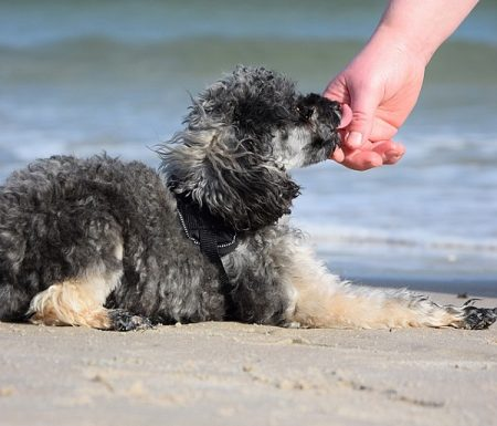 small poodle at the beach