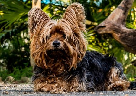 yorkie dog laying on the sidewalk