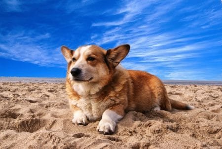 welsh corgi dog on the beach
