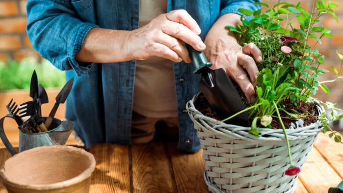 senior woman planting an indoor herb garden