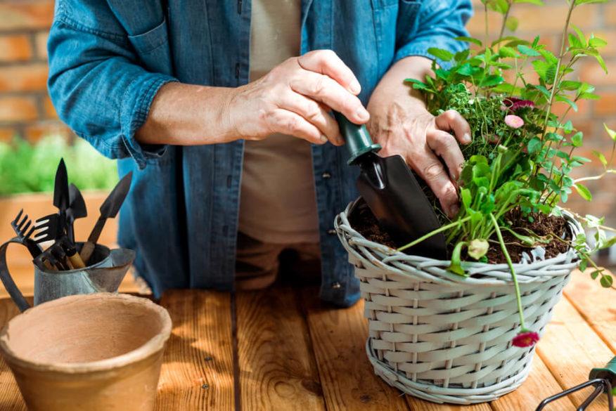 senior planting an indoor herb garden
