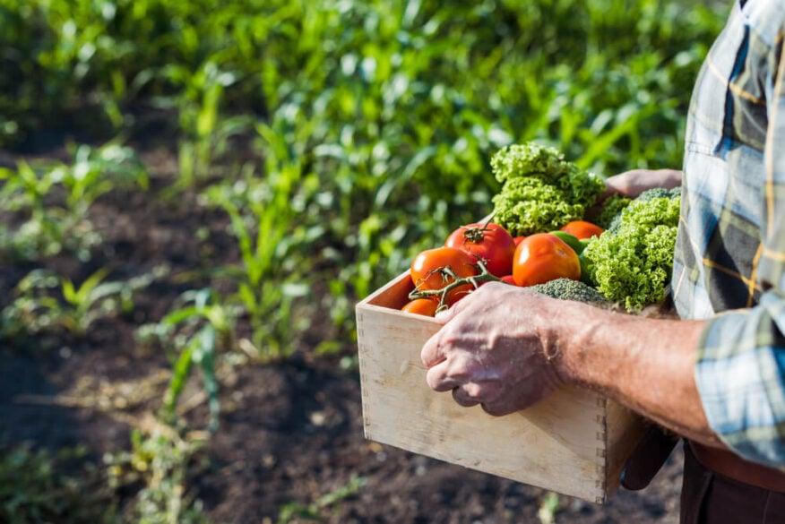 senior picking vegetables in the garden